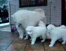 【ニコニコ動画】サモエド子犬を解析してみた