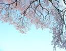 【巡音ルカ】SAKURA-acoustic ver-【カバ