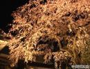 神埼市・宝珠寺のヒメシダレザクラ