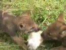 【ニコニコ動画】オオカミ親子に餌やり 3を解析してみた