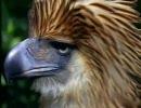 フィリピンワシがサルを狩る thumbnail