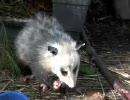 暗い顔をしてネズミを食べるオポッサム