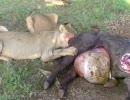 【ニコニコ動画】ライオン、バッファローの胃袋は凄くデカイ。裂けたら中身がどばぁを解析してみた