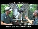 オウギワシの訓練 thumbnail