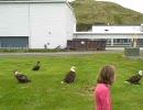 ハクトウワシに鮭の切り身をあげたら30羽も集まった thumbnail