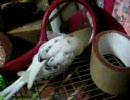 鏡の中の鳥と話すセキセイインコ