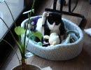 とにかく足を上げたままの猫 thumbnail
