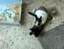 猫がウサギに奇襲してアッ!と驚かすつもりがアーッ!!される事に