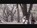 舞い散る桜雪
