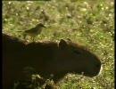 【ニコニコ動画】ウシタイランチョウとカピバラを解析してみた