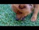 犬がネズミ食ってる【ブラジル】 thumbnail