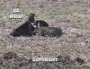 チェコの鷹狩り、イヌワシその他 ?