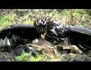 ドイツの鷹狩り、イヌワシその他?