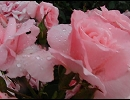 第44位:雨の日 と 薔薇 thumbnail