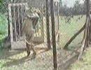 男とライオン、感動の再会 飼育編
