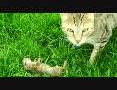 サバンナキャット、プレーリードッグを狩る