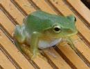 【ニコニコ動画】カエルの鳴き声を解析してみた