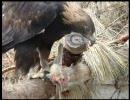 イヌワシがラットをもりもり食べる thumbnail