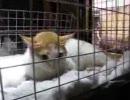 【ニコニコ動画】ビルから落ちたトラウマで激しく痙攣する猫を解析してみた