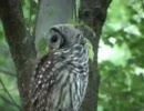 【ニコニコ動画】小鳥に連続攻撃されるフクロウを解析してみた