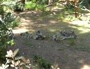 ワオキツネザルの生態