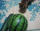 ズッキーニにおびえる猫