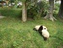 もふもふパンダ相撲