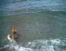柴犬の海水浴