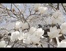 初心者が春をうPしてみた thumbnail
