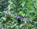 1026-猛暑アゲハ蝶