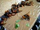 【ニコニコ動画】オオスズメバチがキター!を解析してみた