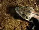 オオアオジタトカゲに餌をあげてみた