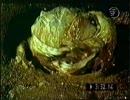 なんでもたべるのカエル「ウシガエル」 thumbnail