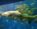サメと寄り添うように泳ぐアジの群れ