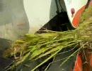コンバインで稲刈り・刈り刈り刈り刈り・・・