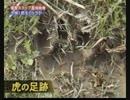 【衝撃映像】ベンガルトラがジャンプして人を襲う瞬間