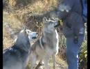 【ニコニコ動画】人になれたオオカミはなんか違うと思う。を解析してみた