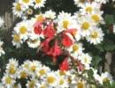 赤い花 白い花  芹洋子