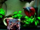 【熱帯魚】ショーベタをお迎えしました【ベタ】 thumbnail