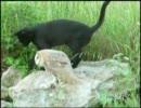 じゃれあうネコとフクロウ