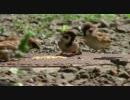 【ニコニコ動画】【スズメ】スズメを撮っていたら・その2『おシャレさん登場』【烏】を解析してみた