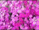 【ニコニコ動画】日本の県花を解析してみた