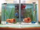 熱帯魚ベタ ~ベタはかわいいよ2~ thumbnail