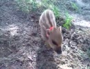 アニマルビデオ うり坊5 鼻の頭で土を掘るうり坊