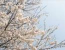 【歌ってみた】桜のような恋でした【オル】 thumbnail