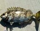 【ニコニコ動画】無人島(沖磯)に釣り行ってきたんだが・・・魚は鍋とタタキで食す!を解析してみた