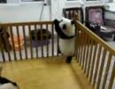 「「ネバーギブアップ」の精神を体現した赤ちゃんパンダの頑張りがかわいい。」のイメージ