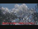 千早の金剛山霧氷紹介(キラキラ輝く花が咲いているようです)