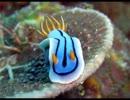 【ニコニコ動画】【海の宝石】色んなウミウシを集めてみた【癒し】を解析してみた