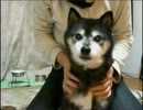 【ニコニコ動画】5秒で小顔になる犬を解析してみた